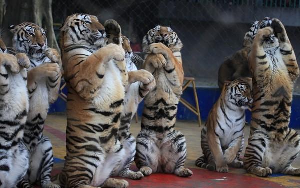 Тигры местного зоопарка поздравляют с Новым годом. Город Наньнин Гуанси-Чжуанский автономный район. 26 января 2012 год. Фото с news.ifeng.com