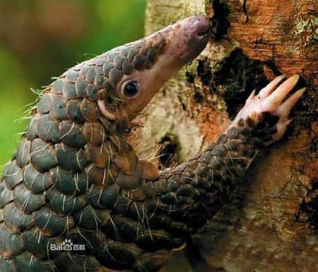 В Китае уже съели всех панголинов. Фото с baidu.com