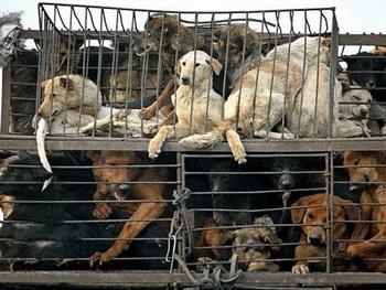 КНР: власти провинции Чжэцзян отменили «Фестиваль собачьего мяса». Фото: www.videocok.com