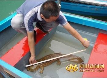 Гигантская саламандра длиной почти 1 метр обнаружена на юго-западе Китая. Фото: epochtimes.com
