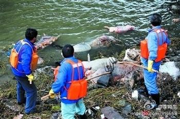 Из реки Хуанпу в Китае выловили около 13 тысяч мёртвых свиней. Фото с epochtimes.com