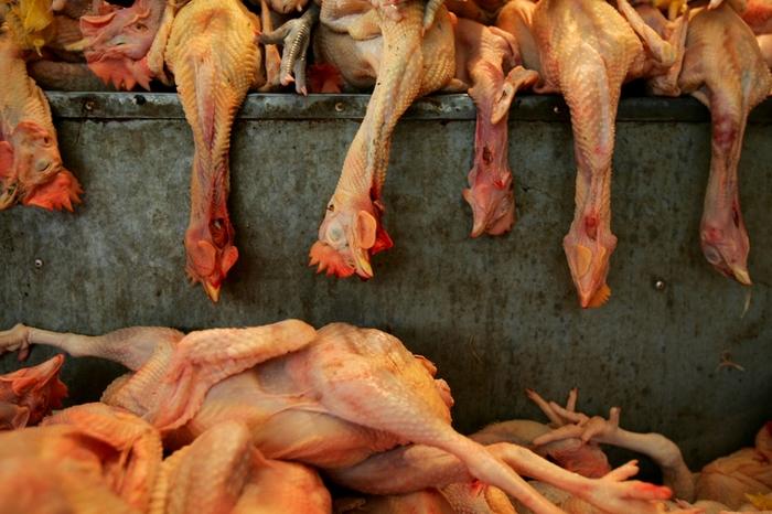 Птичий грипп в Китае убивает не только птиц, но и людей. Фото: Getty Images