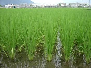 Власти Китая хотят накормить население ГМО-рисом. Фото с epochtimes.com
