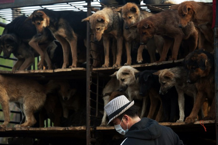 Активисты из китайской Ассоциации защиты животных готовятся выпустить спасённых собак после того, как колонна грузовиков, перевозящих около 500 собак для продажи в качестве мяса, была остановлена вдоль шоссе в Пекине в апреле 2011 года. Фото: STR/AFP/Getty Images