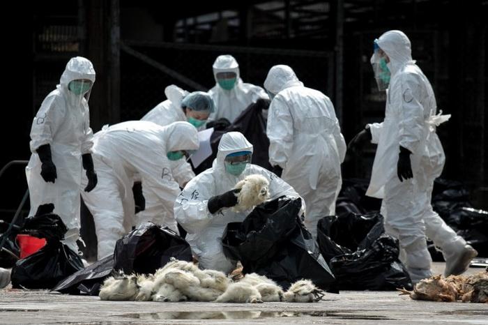 Гонконгские работники в спецкостюмах и масках собирают мёртвых кур в чёрные пластиковые мешки 28 января 2014 г. Гонконг забраковал 20 000 кур после того, как в импортированной из материкового Китая птице был обнаружен смертельный вирус H7N9. Фото: Philippe Lopez/AFP/Getty Images