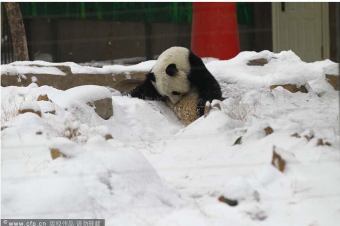 Панда Цзинь И из зоопарка Чжэнчжоу 6 февраля 2014 г., за три дня до её смерти от желудочного кровотечения. Screenshot/CRIENGLISH.com