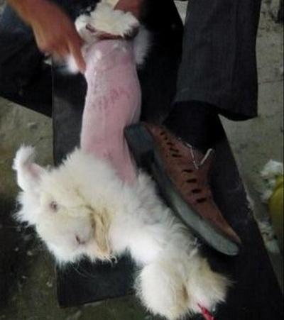 На видео с кролика сдирают мех на ферме в Китае. Группа «Люди за этичное обращение с животными» (PETA) выпустила видео, на котором заснят жестокий процесс получения ангорского меха в Китае. Фото с сайта theepochtimes.com