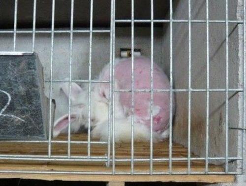 Ангорский кролик в клетке лижет свою кожу после экзекуции. Группа «Люди за этичное обращение с животными» (PETA) выпустила видео, на котором заснят жестокий процесс получения ангорского меха в Китае. Фото с сайта theepochtimes.com