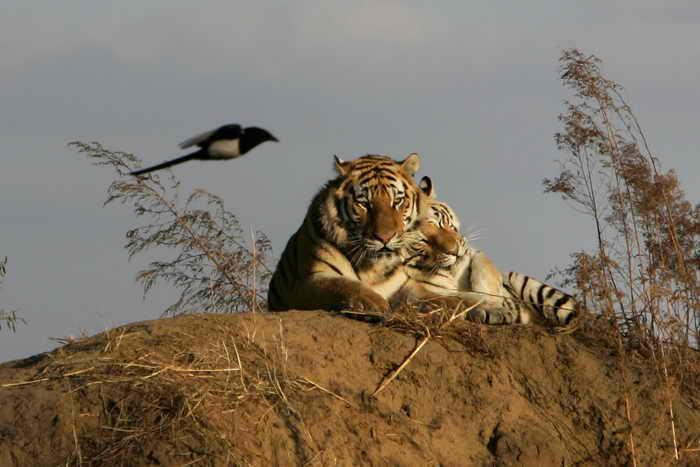 Сибирский тигр. Фото: Justin Sullivan/Getty Images