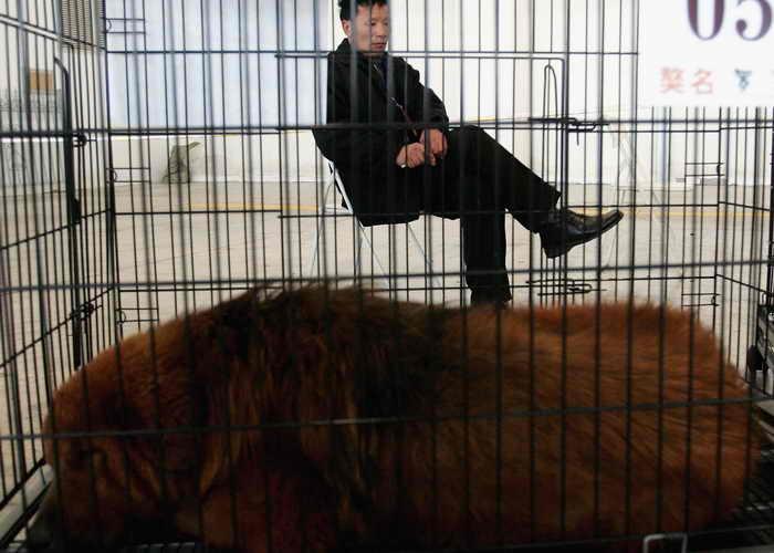 В китайском зоопарке города Лохэ провинции Хэнань разразился скандал. Одна из посетительниц пришла в зоопарк показать сыну льва, но они были очень удивлены, когда из клетки льва услышали собачий лай. Фото: Guang Niu/Getty Images