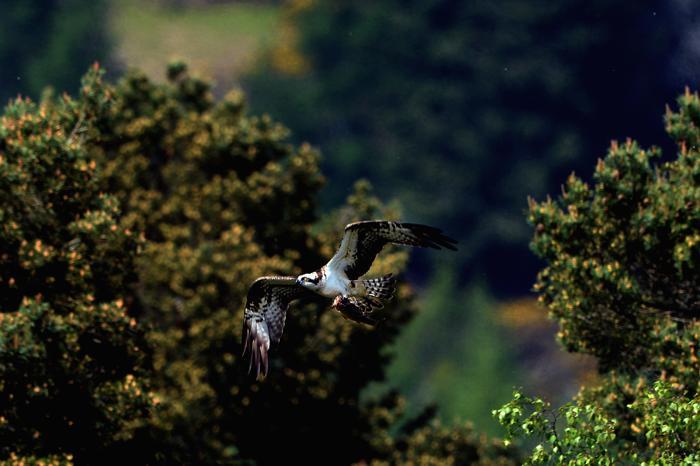 Старейшая скопа вернулась в Англию на 23 сезон гнездования. Фото: Jeff J Mitchell/Getty Images
