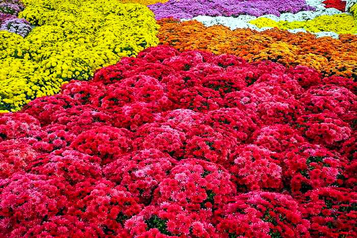 Выставка хризантем в Севастополе. Октябрь 2013 г. Фото: Алла Лавриненко/Великая Эпоха (The Epoch Times)