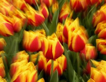 Тюльпаны. Фото: Robert Cianflone/Getty Images
