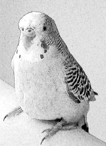 Как-то в нашей семье жил волнистый попугай. Скетч: Екатерина Кравцова/Великая Эпоха