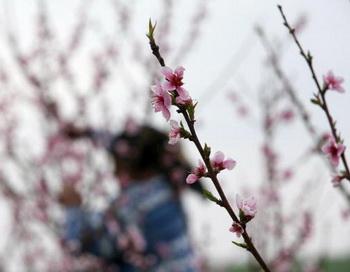 Персиковые цветы. Фото: VALENTINA PETROVA/AFP/Getty Images