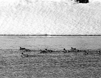 Первые утки. Фото: Дмитрий Житенёв