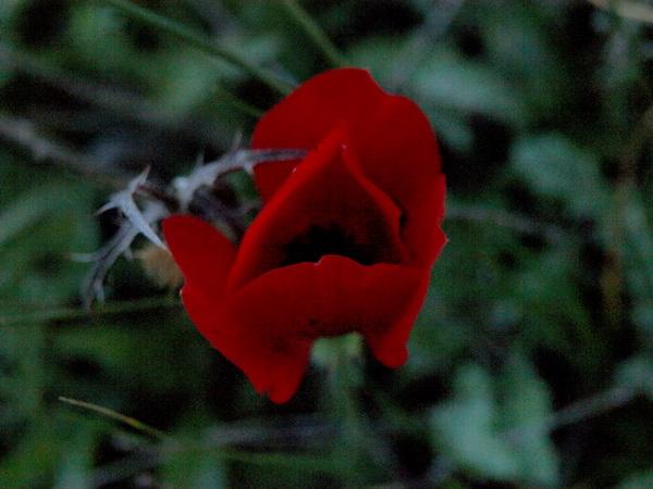 Маки. Авторская песня Ольги Качановой. Фото: Хава ТОР/Великая Эпоха