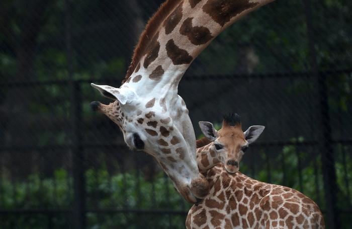 Мама-жираф облизывает своего 20-дневного детёныша в зоопарке Alipore Zoological Gardens в Калькутте 10 июня 2013 года. С рождением этого малыша число африканских жирафов увеличилось до девяти, и руководство зоопарка обеспечивает специальные уход новорождённому и его матери. Фото: DIBYANGSHU SARKAR/AFP/Getty Images