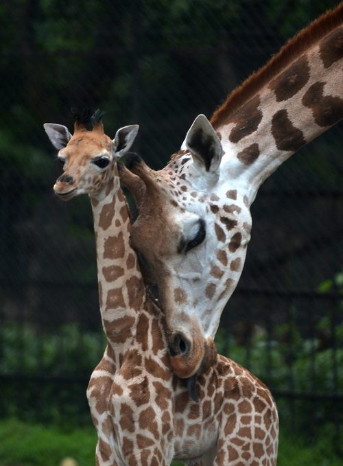 Мама-жираф облизывает своего 20-дневного детёныша и находится рядом с ним в зоопарке Alipore Zoological Gardens в Калькутте 10 июня 2013 года. После рождения малыша в зоопарке стало девять африканских жирафов. Руководство зоопарка обеспечивает специальный уход новорождённому и его матери. Фото: DIBYANGSHU SARKAR/AFP/Getty Images