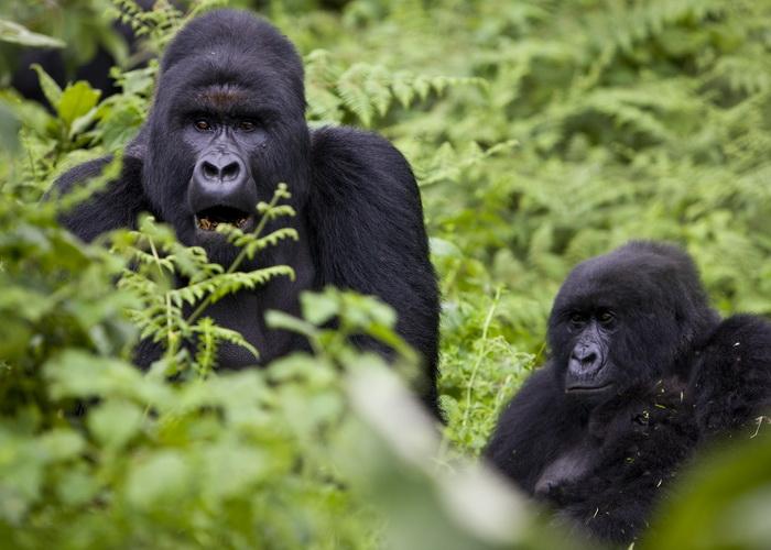 В гостях у хозяев джунглей. Фотo: Brent Stirton/Getty Images
