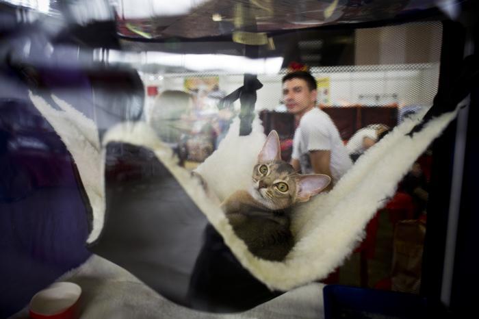 Международная выставка кошек «Лето-2013 Иван Купала на ВВЦ» открылась в ВВЦ в Москве 6 июля 2013 года. Фото: NATALIA KOLESNIKOVA/AFP/Getty Images