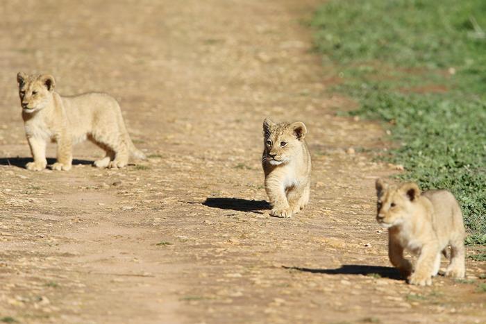 Трое львят впервые после рождения показались публике в зоопарке Монарто, когда их поместили в львиный вольер 7 июля 2013 года. Фото: Morne de Klerk/Getty Images