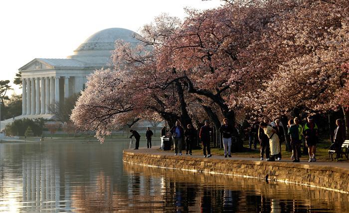 Вишня в цвету в столице США. Фото: Win McNamee/Getty Images