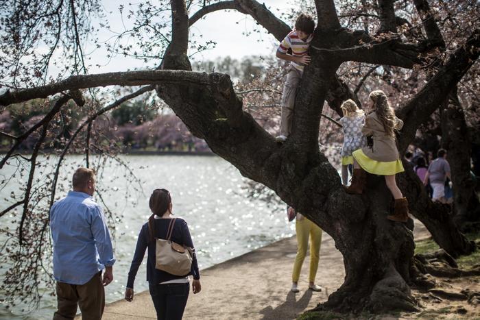 Вишня в цвету в столице США. Фото: Brendan Hoffman/Getty Images