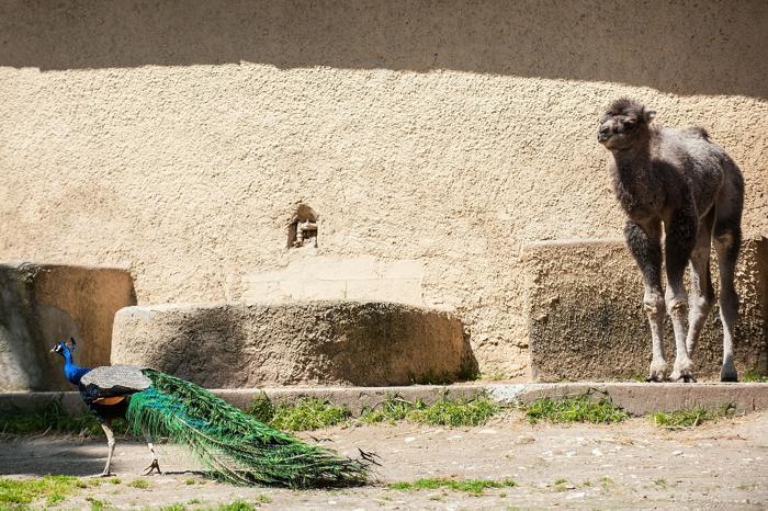 Верблюжонок Амелия родился в зоопарке Рима. Фото: Giorgio Cosulich / Getty Images