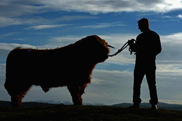 Горные быки. Фото: Jeff J Mitchell/Getty Images