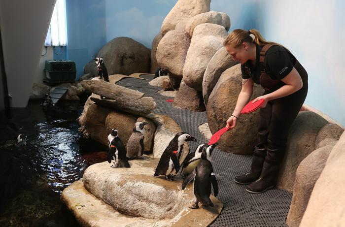 День влюблённых в пингвинов. Фото: Justin Sullivan/Getty Images