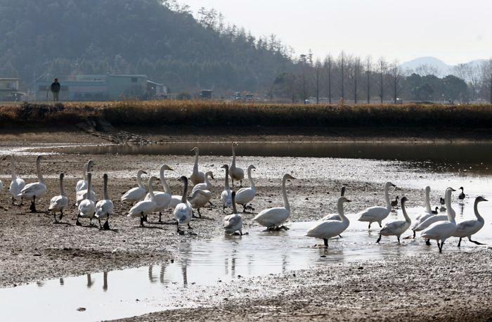 Сибирские лебеди зимуют в Японии. Фото: Buddhika Weerasinghe/Getty Images