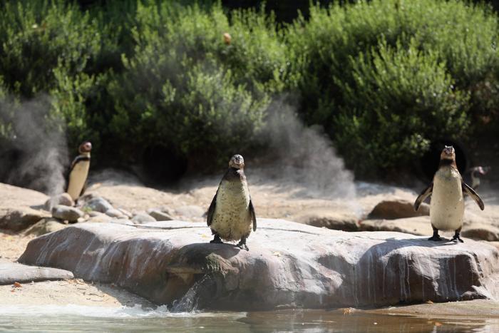 Пингвины в лондонском зоопарке 17 июля 2013 года. Фото: Oli Scarff/Getty Images