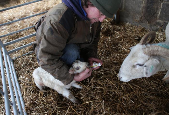 Фермеры Великобритании проверяют признаки вируса Шмалленберг у ягнят. Фото: Matt Cardy/Getty Images