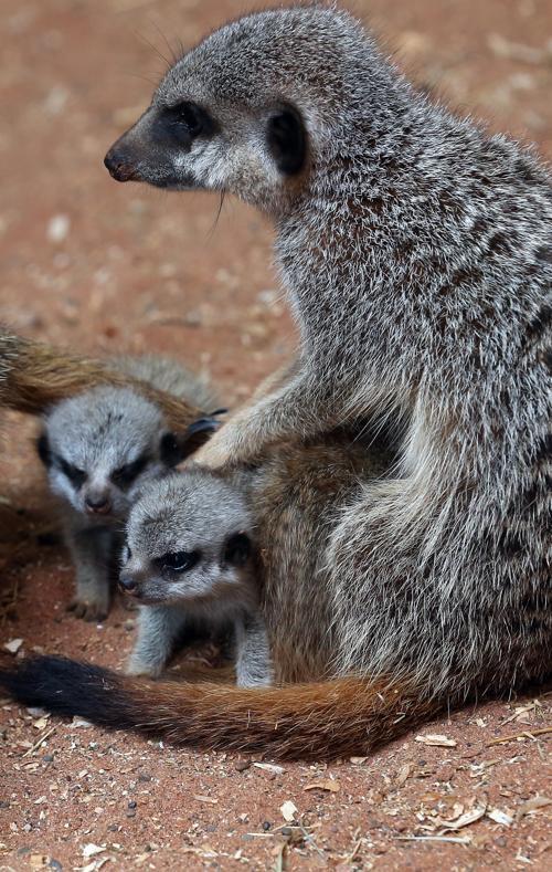 Малышей сурикатов представили публике в Бристольском зоопарке  (Англия) 23 июля 2013 года. Фото: Matt Cardy/Getty Images