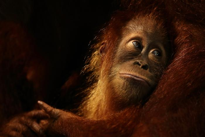 Зоопарк Сингапура отметил 40-летний юбилей. Фото: Suhaimi Abdullah/Getty Images