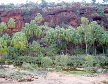 Пальмовый оазис в Австралии не является остатком леса Гондваны. Фото: spiegel.de