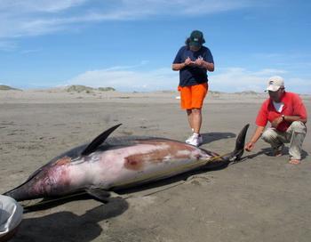 Погибшие дельфины. Фото: WILFREDO SANDOVAL/AFP/GettyImages