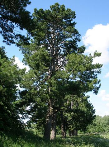 Кедр. Фото с сайта kedrovik.forest.ru
