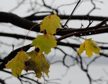 Мокрые листья... Фото: Николай Богатырёв