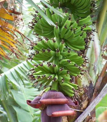 Банановое дерево. Фото: Екатерина Кравцова/Великая Эпоха