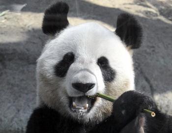 Панда. Фото: YOSHIKAZU TSUNO/AFP/Getty Images