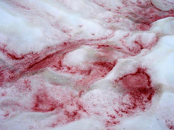 Арбузный снег. Фото с сайта doseng.org