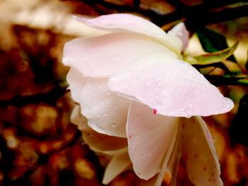 Дарите женщинам цветы со смыслом. Белая роза. Фото: Хава ТОР/Великая Эпоха