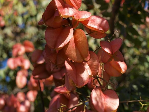 Кёльрейтерия или дерево-фонарик. Фото: Хава ТОР/Великая Эпоха