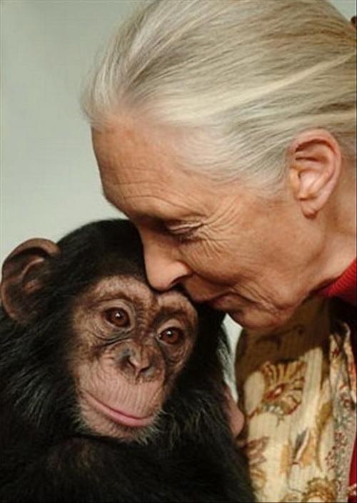 Джейн Гудель — неутомимый адвокат шимпанзе. Фото с сайта trestrasjane.blogspot.com