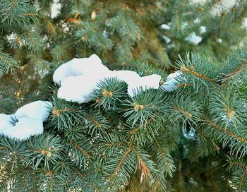 Новый год: как правильно выбрать хорошую ёлку? Хорошая ель - залог праздничного настроения! Фото: Ветер/fotki.yandex.ru