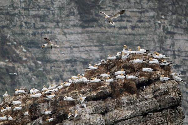 Фотообзор о колониях олушей на Скалах Бемптон в Англии. Фото: Dan Kitwood/Getty Images