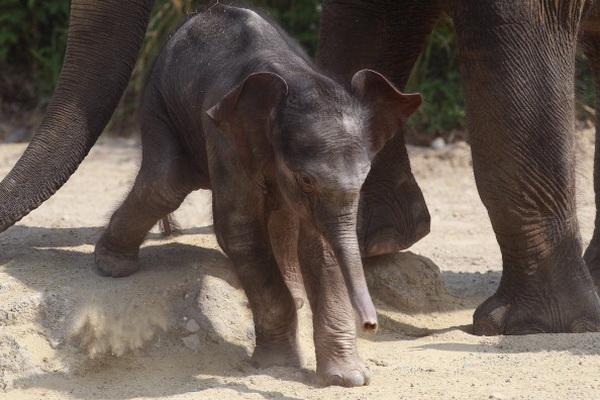 Фоторепортаж о слоненке в мюнхенском зоопарке Хеллабрунн в Германии. Фото: Alexander Hassenstein/Getty Images