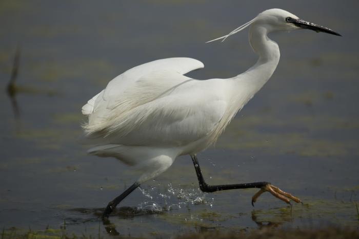 Цапля на болоте Элмлей. Фото: Dan Kitwood / Getty Images